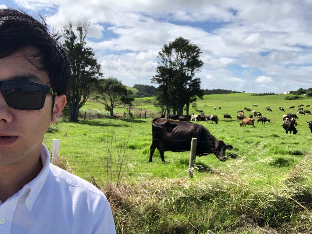 オークランド郊外ですぐ近くに牛がいる
