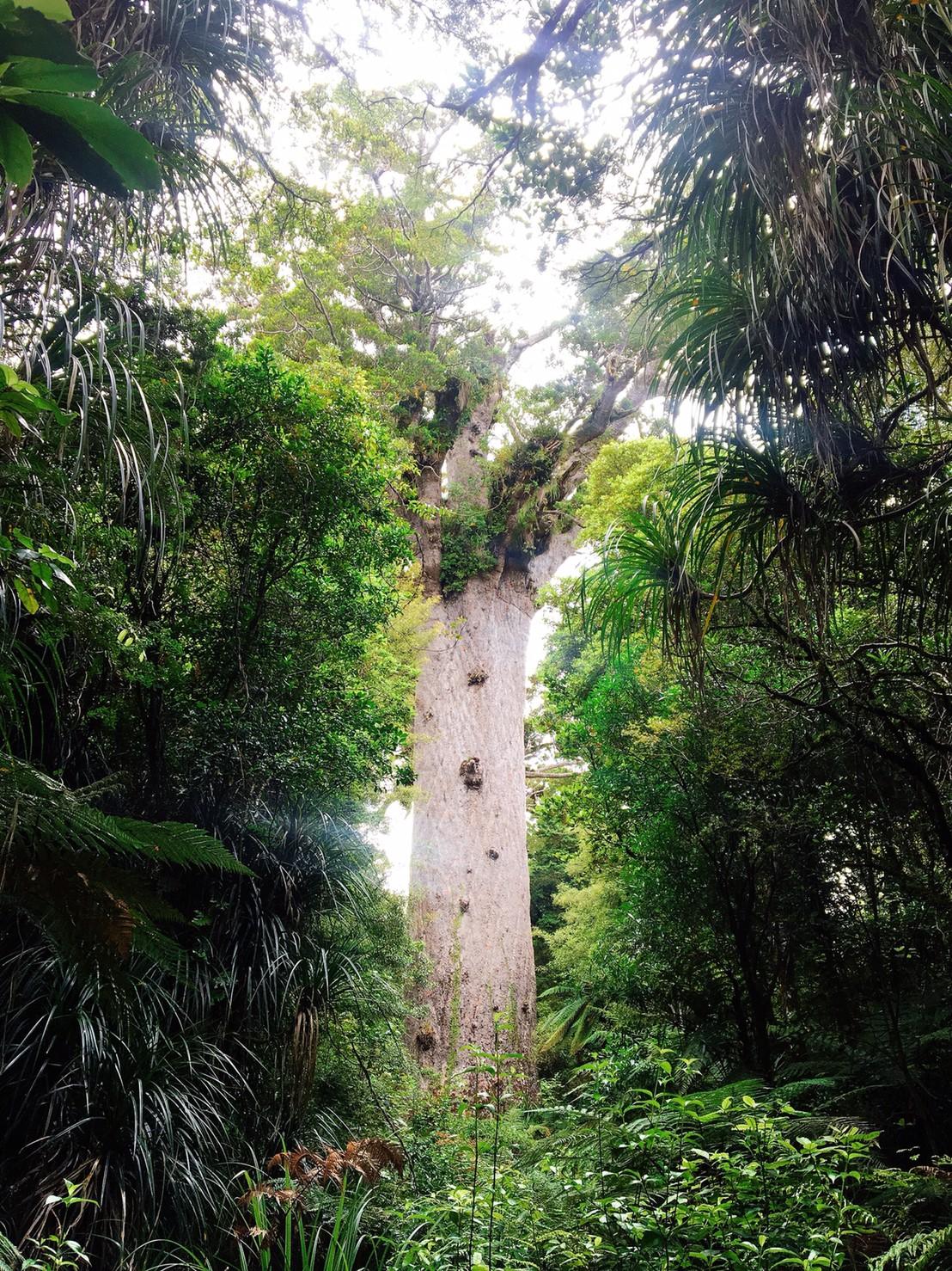 樹齢2000年 カウリの大木 北島